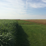 Perennial grasses pictured next to crops on an Iowa farm
