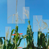 Image of a corn plant with rectangle around the tassel