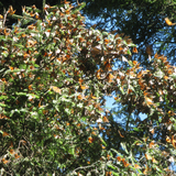 Monarchs swarm trees in central Mexico