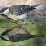 A small bird wading in a puddle