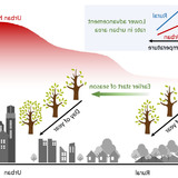 An illustration showing the link between temperature and start of season in rural and urban settings.
